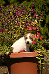 Jack Russel puppy with geranium