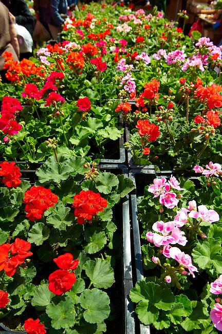 Geraniums [ Pelagonium }  Bedding planrs, Dolac Flower Market [ Tr?nica Dolac ] , Zagreb, Croatia