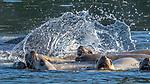 USA, Alaska, Glacier Bay National Park, Steller or northern sea lion (Eumetopias jubatus)