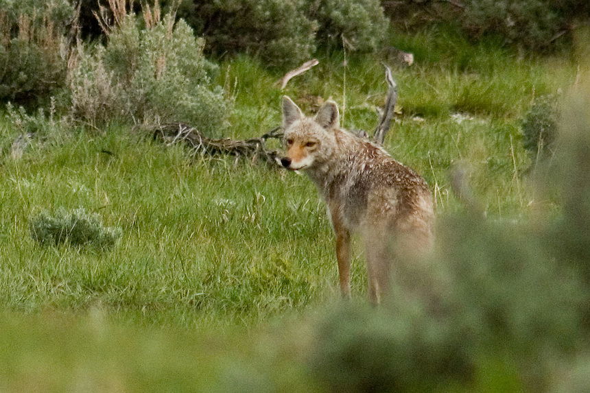 A coyote pauses while loping across the remote Lamar Valley in Yellowstone National Park, Wednesday, June 1, 2005. (Kevin Moloney for the New York Times)
