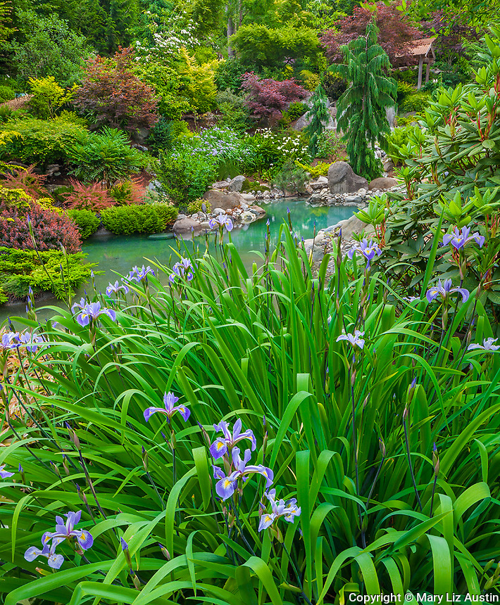 Vashon-Maury Island, WA Iris blooming next to a salt water plunge pool surrounded by woodland perennial garden.