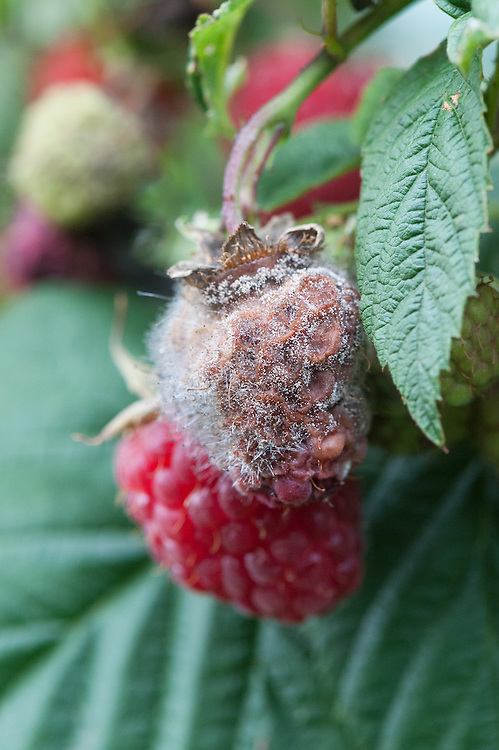 Raspeberry infected with the fungus Botrytis cinerea. Spores are spread in the air or by rain or water splash and produce fluffy grey, off-white or grey-brown mould.
