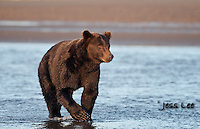 A photo of a coastal brown bear stading in the ocean. Grizzly Bear or brown bear alaska Alaska Brown bears also known as Costal Grizzlies or grizzly bears