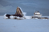 humpback whales, Megaptera novaeangliae, bubble net feeding near the boat Alaska Lady, Chatham Strait, Alaska, USA, Pacific Ocean