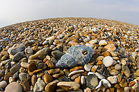 Washed up shell on Cley Beach, Norfolk, United Kingdom