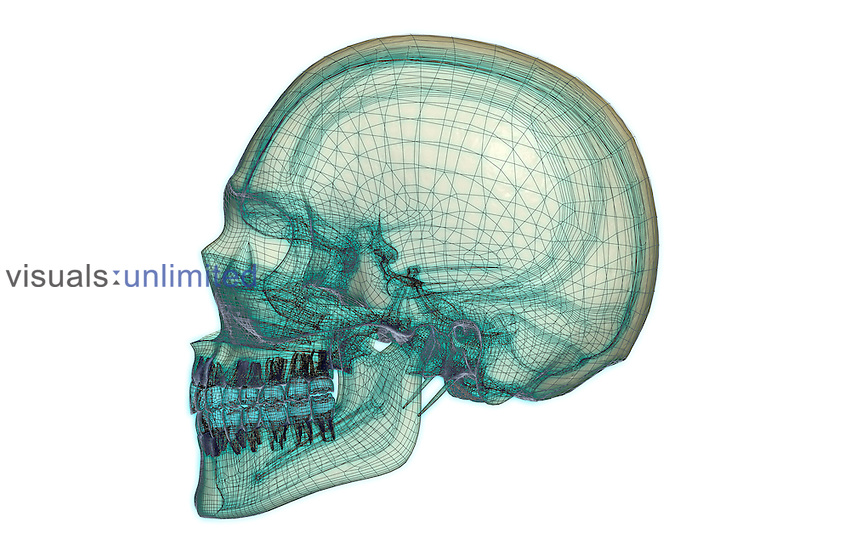 A lateral view (left side) of the skull. Royalty Free