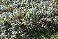 Wollige Weide, Woll-Weide, Wollweide, Salix lanata, Woolly willow, Wooly willow, le saule laineux