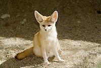 Fennec Fox.Vulpes zerda