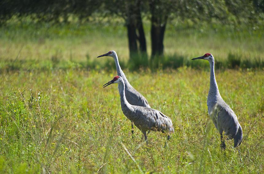 Sandhill cranes, Zolfo Springs, Florida