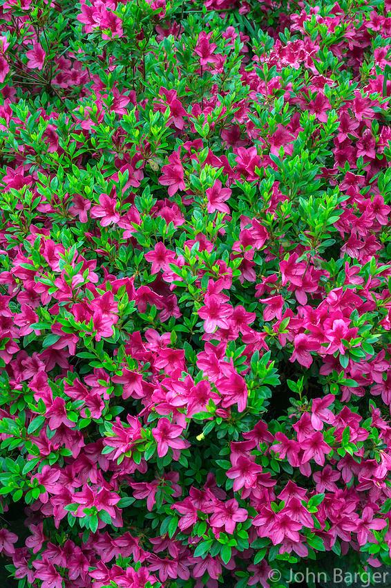 ORPTC_D149 - USA, Oregon, Portland, Crystal Springs Rhododendron Garden, Azalea in bloom.