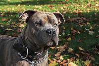 Portrait of a pit bull, grey and brown. Photographed in a Park during Fall.