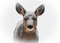 Mule deer doe in a snow storm looking like she has been dipped in powdered sugar.