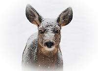 Mule deer doe in a snow storm looking like she has been dipped in powdered sugar.