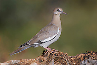 White-winged Dove, Zenaida asiatica, young on log,Tucson, Arizona, USA, September 2006