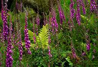 Foxglove flowers. Trewidden Gardens, Cornwall, England