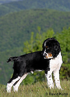 0730-0813  Tricolor English Springer Spaniel Puppy, Canis lupus familiaris © David Kuhn/Dwight Kuhn Photography.