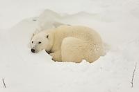 An adult polar bear takes a rest at a comfy spot along a snow bank