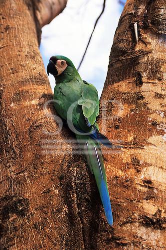 Pantanal, Mato Grosso,  Brazil. Chestnut-Fronted Macaw (Severe Macaw), Ara severa, Ara severus, in the wild.