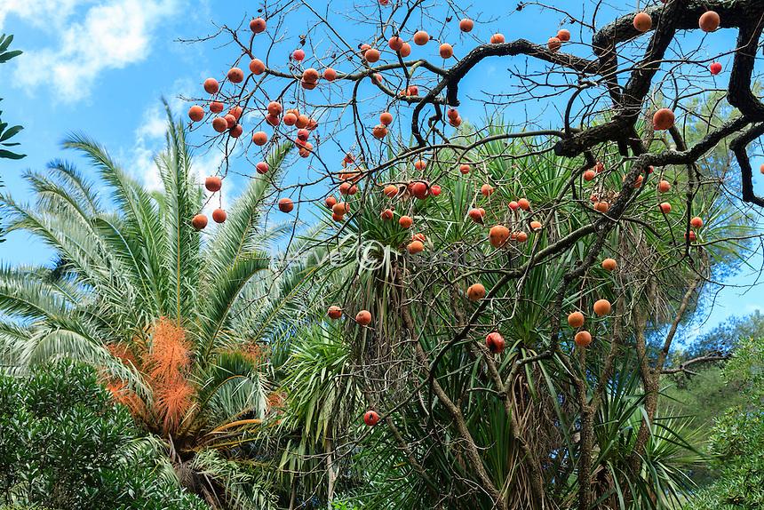 Domaine du Rayol en novembre : un kaki (Diospyros kaki) dans le jardin néo-zélandais, derrière, les rachis oranges d'un palmier des Canaries.