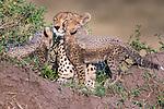 Cheetahs, Masai Mara National Reserve, Kenya