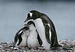 Gentoo penguins, Antarctica