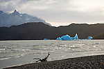 Icebergs in Choppy Lago Grey in Torres del Paine National Park in Patagonia Chile