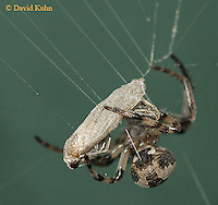 0723-06xx   Furrow spider - Nuctenea cornuta © David Kuhn/Dwight Kuhn Photography