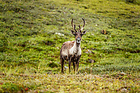 Cow caribou on tundra in Denali National Park, Alaska  Summer<br /> <br /> Photo by Jeff Schultz/SchultzPhoto.com  (C) 2018  ALL RIGHTS RESERVED<br /> <br /> Amazing Views-- Into the wild photo tour 2018