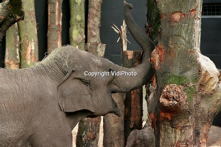 Foto: VidiPhoto..AMERSFOORT - De olifanten van Dierenpark Amersfoort mochten woensdag voor het eerst een kijkje nemen in hun nieuwe binnenverblijf. Helemaal klaar is het nog niet, maar de komende periode zullen de olifanten regelmatig even naar binnen gaan om vertrouwd te raken met het verblijf. Dit kan bij olifanten langere tijd in beslag nemen. Het nieuwe Rijk der Reuzen biedt de olifanten een binnenruimte van totaal 750 vierkante meter en is het grootste verblijf van Nederland en het op twee na grootste in Europa voor de Aziatische olifant.