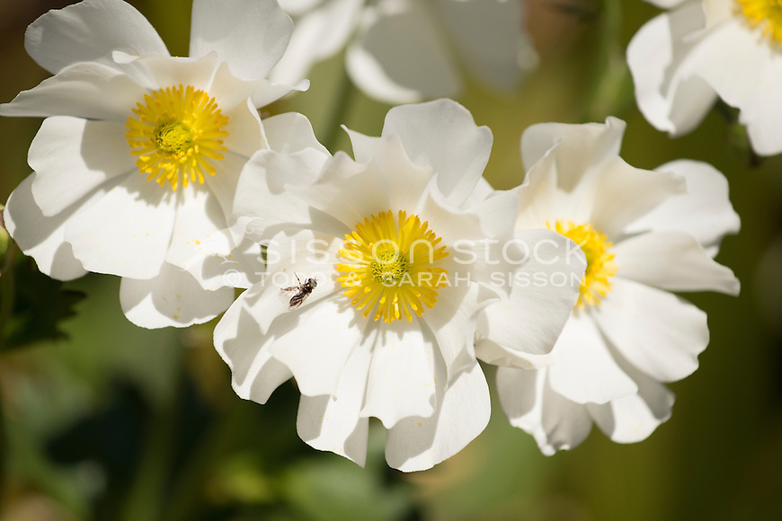 Mount Cook Lily   Giant Buttercup, New Zealand - stock photo, canvas, fine art print