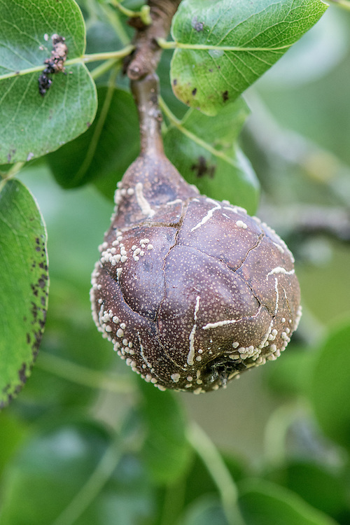 A pear infected with brown rot. Fungal spores find their way under a damaged area of skin. The fruit then develops soft, brown, rotten patches. As these spread, white, crusty spots or pustules appear, often in circular patterns. Eventually the fruit shrivels up and either afls to the ground or remains on the tree in a dessicated state.