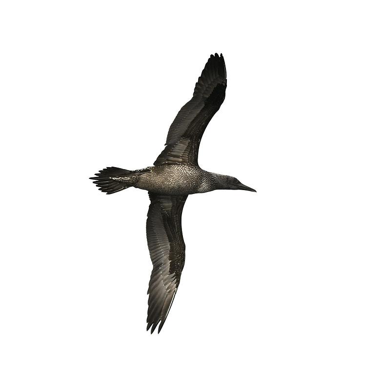 Gannet - Morus bassanus - juvenile