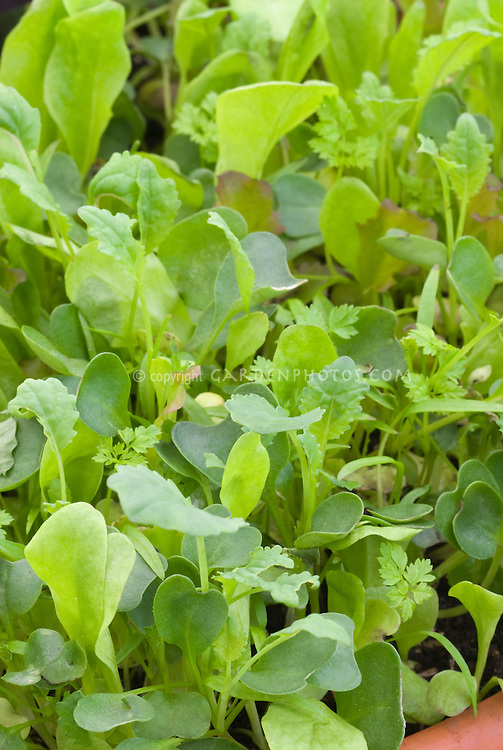 Rebekah's French mix mesclun gourmet salad greens leaves