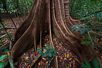 """Plank roots in the Lowland rainforest, near Kap Araide, Kumawa Peninsula, mainland New Guinea, Western Papua, Indonesian controlled New Guinea, on the Science et Images """"Expedition Papua, in the footsteps of Wallace"""", by Iris Foundation"""
