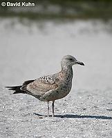 0104-1002  Herring Gull (2nd winter plumage), Larus argentatus  © David Kuhn/Dwight Kuhn Photography