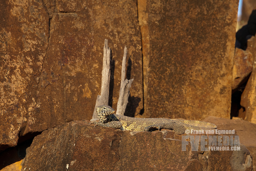 Nile Monitor (Varanus Nilotictus)...Mashatu Game Reserve..Tuli block, Botswana..November 2010.