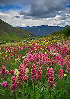 San Juan Mountains, CO<br /> Pink hues of rose paintbrush (Castilleja rhexifolia) in an alpine wildflower meadow with yellow flowering alpine avens (Geum rossii) and bistort (Bistorta bistortoides) on Stony Pass
