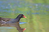 Common Moorhen (Gallinula chloropus), Swimming with nesting material. Reeds form the structural base with feathers, and leaf matter making the lining. The Moorhen is one of only two British birds which breed co-operatively, with older young birds helping their parents raise subsequent offspring. Habitat, Marsh, reedbed, small lakes.