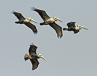 Flock of brown pelicans in breeding plumage