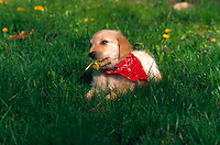 Golden retriever puppy lying in grass and eating a dandelion.