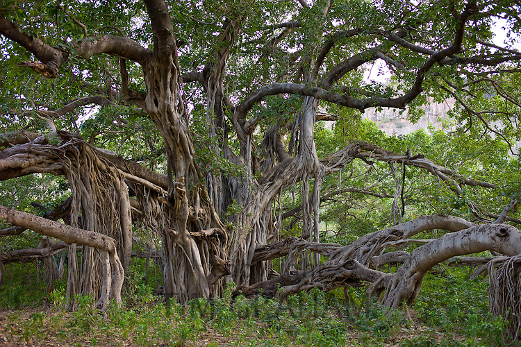 Ancient 700 year old Banyan Tree in Ranthambhore National Park, Rajasthan, Northern India