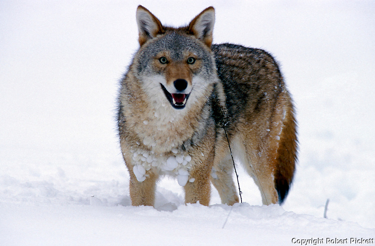 Coyote (Canis latrans) - Minnesota standing in snow