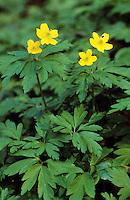 Gelbes Windröschen, Gelbes Busch-Windröschen, Gelbes Busch - Windröschen, Anemone ranunculoides, Yellow Anemone
