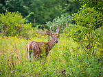 White tailed deer. Male yearling with horns.