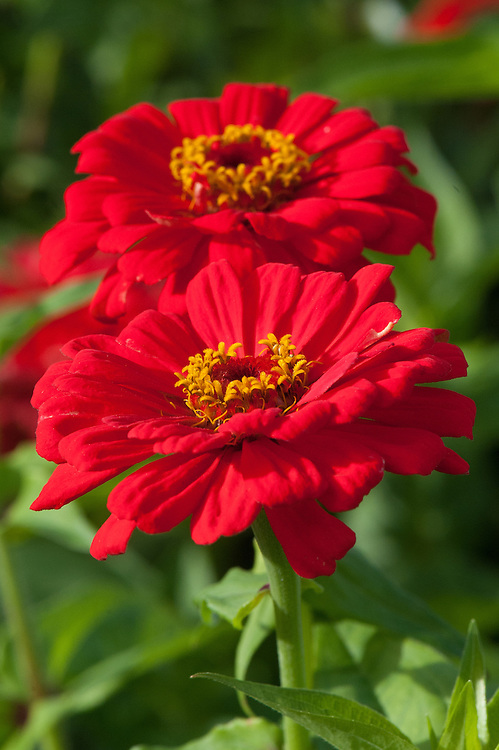 Zinnia elegans 'Coral Beauty', late September.