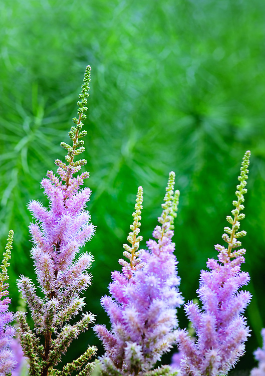 astilbe chinensis pumila - Chinese astilbe