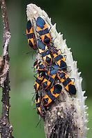 Large Milkweed Bug; Ocopeltus fasciatus; PA, Philadelphia, Morris Arboretum