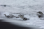Chinstrap penguins swim in from the ocean on Deception Island, Antarctic Peninsula.