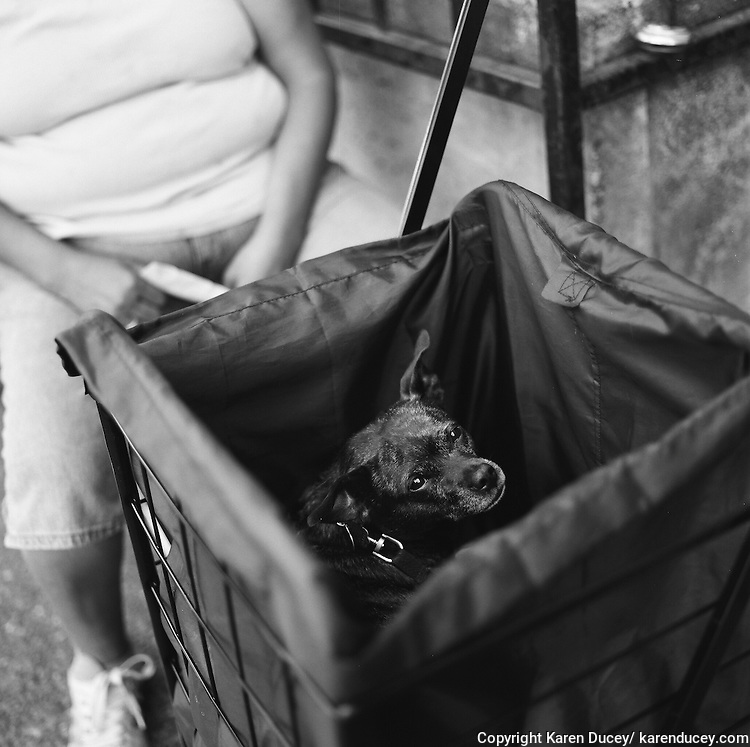 """Baby, a six-year-old Chihuahua mix, pears out from inside a granny grocery cart, as she waits with her mom, Dani Gonzalez, from Burien, Wash. to be seen at the Doney Memorial Pet Clinic. """"I love this place."""" said Gonzalez. """"Without it I couldn't afford to get her spayed."""" The clinic does not perform surgeries but does give out vouchers for critical veterinary care when needed."""