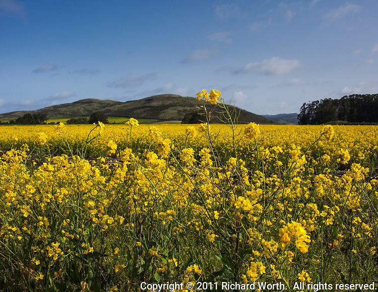 Field mustard, also known as birdrape mustard, stretches into the foothills along HIghway 1 on the California coast.